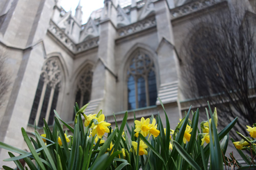 Daffodils at St Patrick's Cathedral, NYC 2018